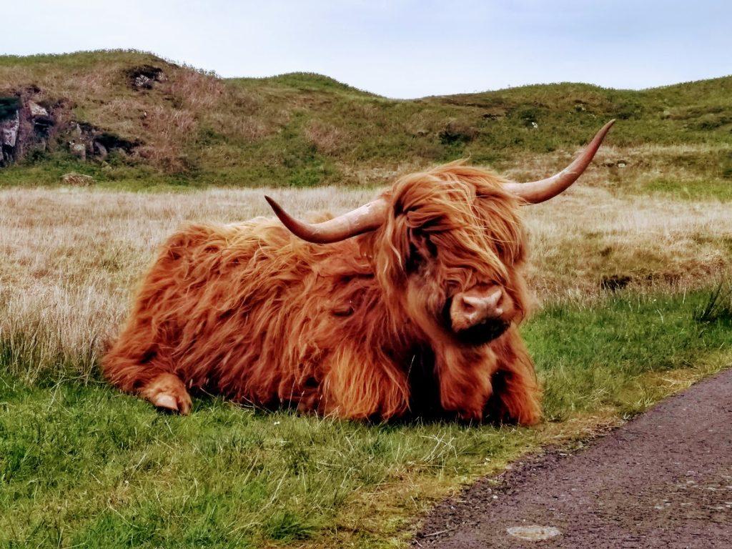 Highland cow at Fidden Farm, Mull
